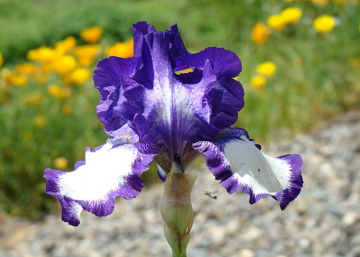 �irises Artwork� Greeting Card featuring the photograph Iris Flower Purple White Irises Nature Landscape Giclee Art Prints Baslee Troutman by Baslee Troutman