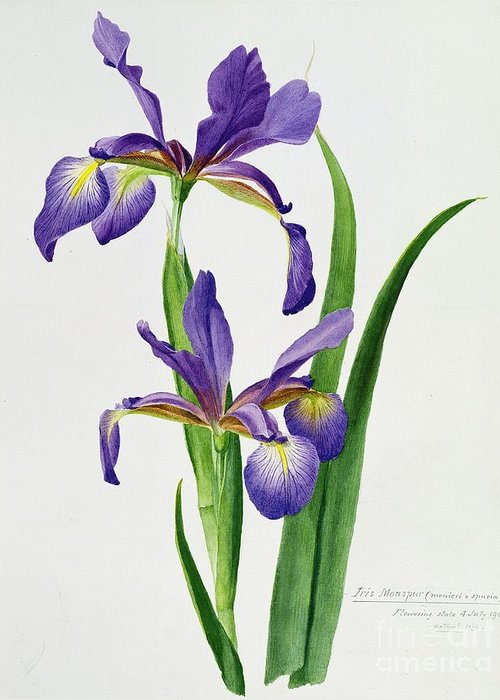 Flower Greeting Card featuring the painting Iris Monspur by Anonymous