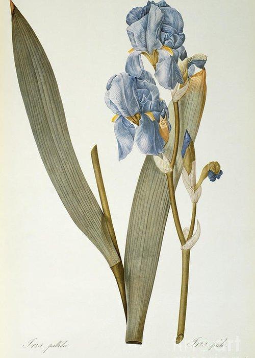 Iris Greeting Card featuring the painting Iris Pallida by Pierre Joseph Redoute