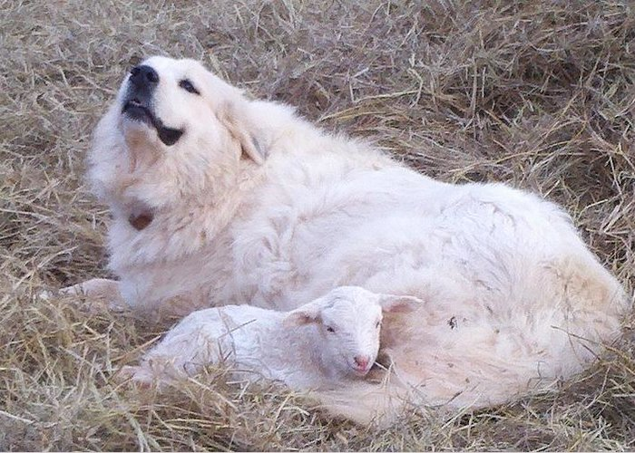 Great Pyrenees Dog Greeting Card featuring the photograph Isabel and Molly 2 by Ginger Concepcion