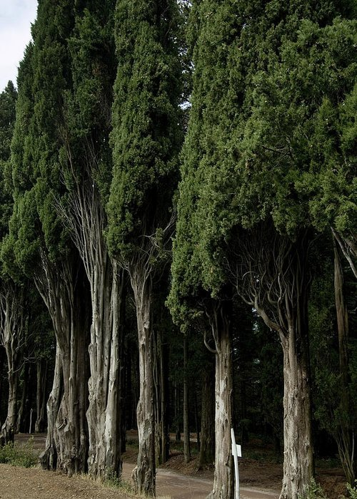 Photography Greeting Card featuring the photograph Italian Cypress Trees Line A Road by Todd Gipstein