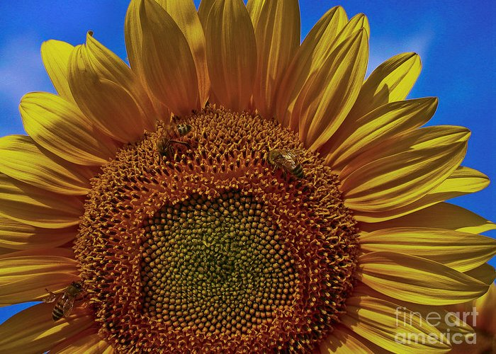 Sunflower Greeting Card featuring the photograph Italian Sunflower With Bees by Jon Cretarolo