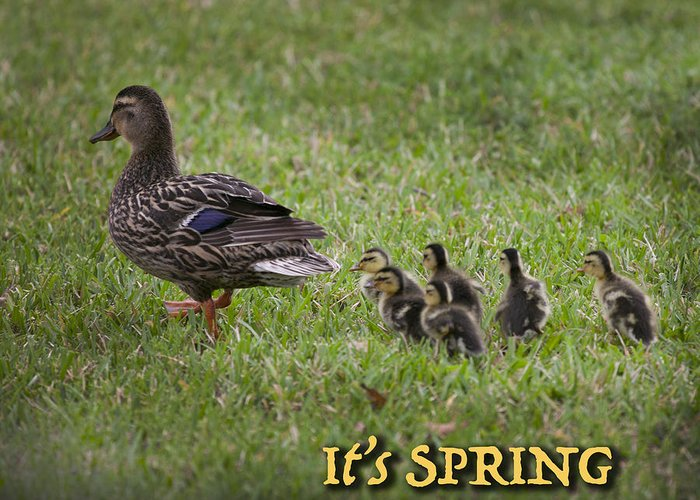 Ducklings Greeting Card featuring the photograph Its Spring by Mykel Davis