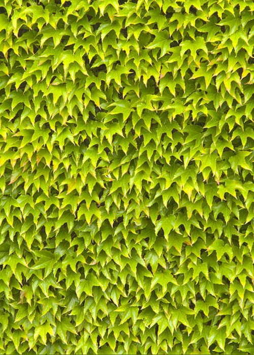 Abstract Greeting Card featuring the photograph Ivy Wall by Andy Smy
