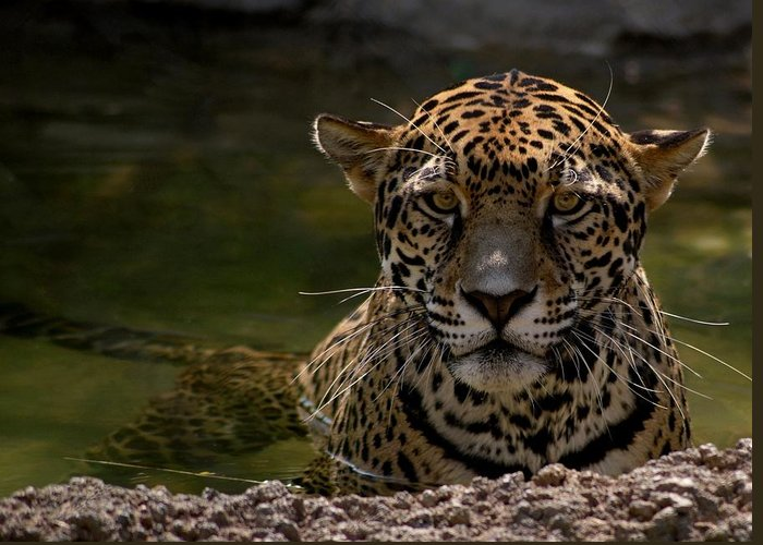 Jaguar Greeting Card featuring the photograph Jaguar In The Water by Sandy Keeton