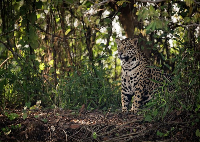 Brazil Greeting Card featuring the photograph Jaguar Sitting In Trees In Dappled Sunlight by Ndp