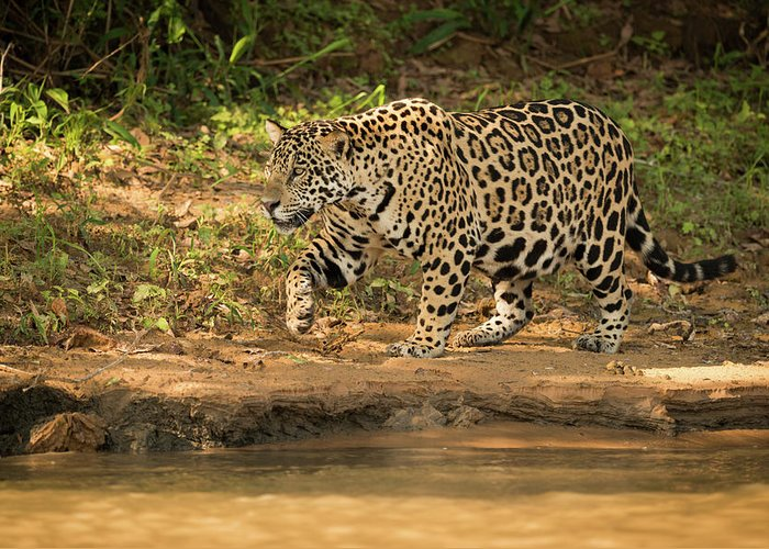 Brazil Greeting Card featuring the photograph Jaguar Walking Beside River In Dappled Sunlight by Ndp
