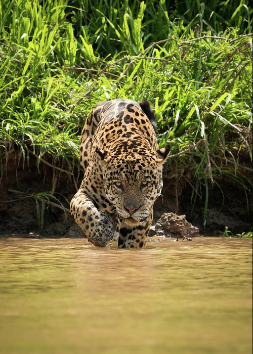 Brazil Greeting Card featuring the photograph Jaguar Walking Through Muddy Shallows Towards Camera by Ndp