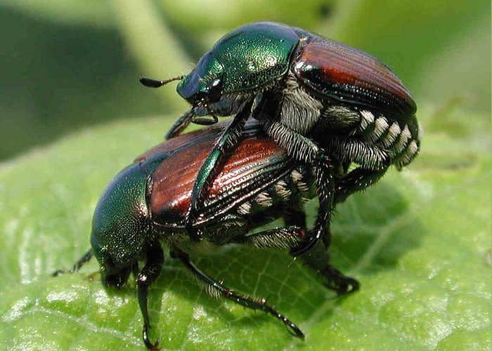 Nature Greeting Card featuring the photograph Japanese Beetles Mating by Matt Cormons