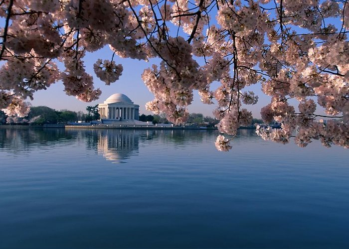 jefferson Memorial Greeting Card featuring the photograph Japanese Cherry Blossoms Prunus by Medford Taylor