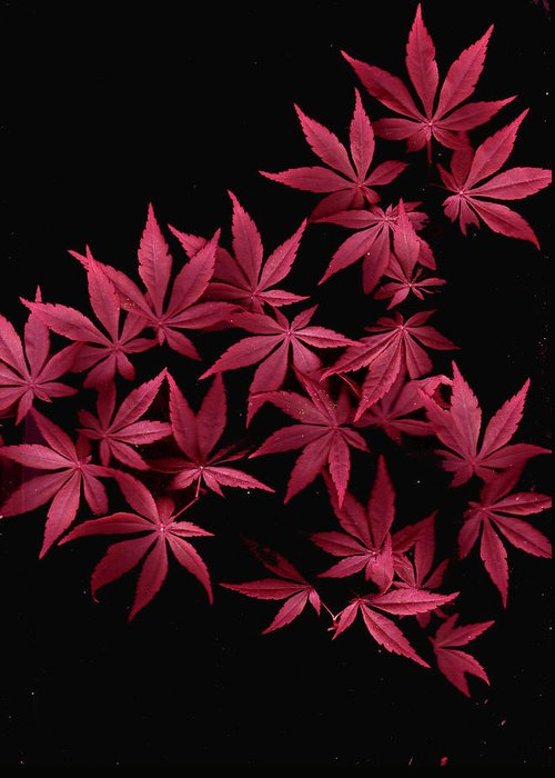 Japanese Maple Greeting Card featuring the photograph Japanese Maple Leaves by Wayne Potrafka