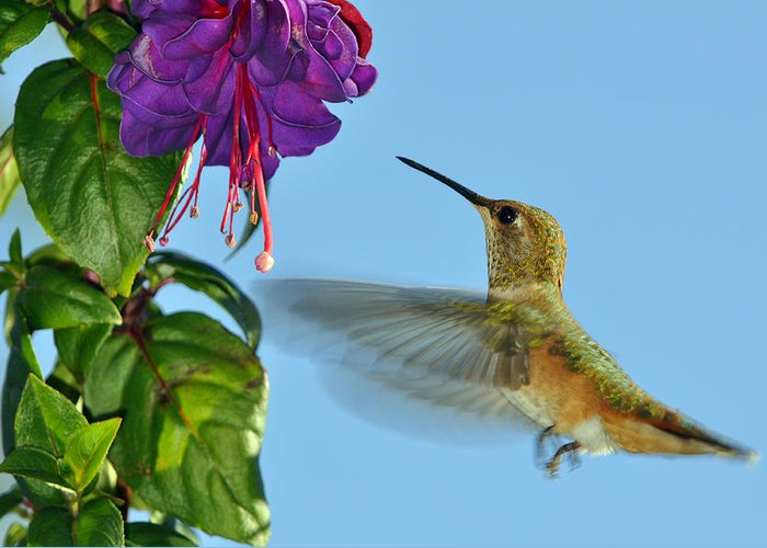 Hummingbird Greeting Card featuring the photograph Jeweled Rufous In Afternoon Light by Laura Mountainspring
