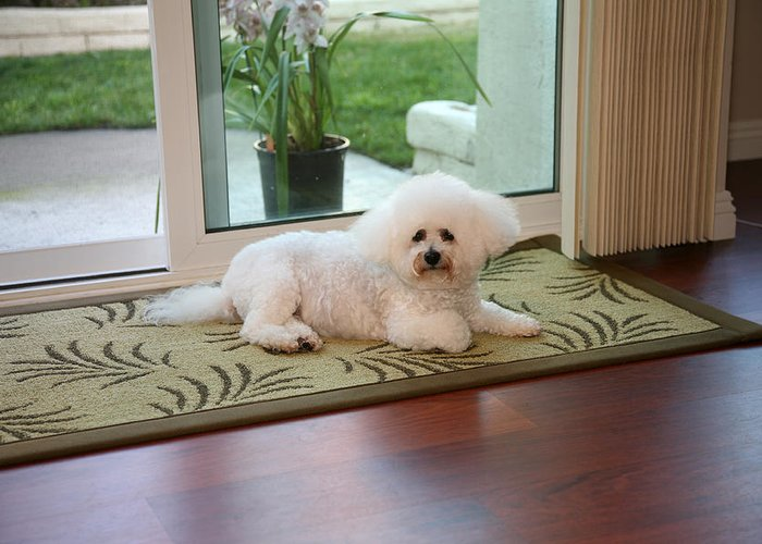 Animal Greeting Card featuring the photograph Jolie The Bichon Frise by Michael Ledray