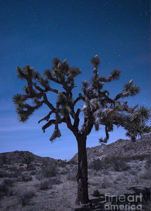 America Greeting Card featuring the photograph Joshua Tree by Juli Scalzi