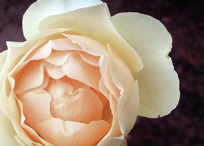 Rose Greeting Card featuring the photograph Jude The Obscure by Dawn Chevoya