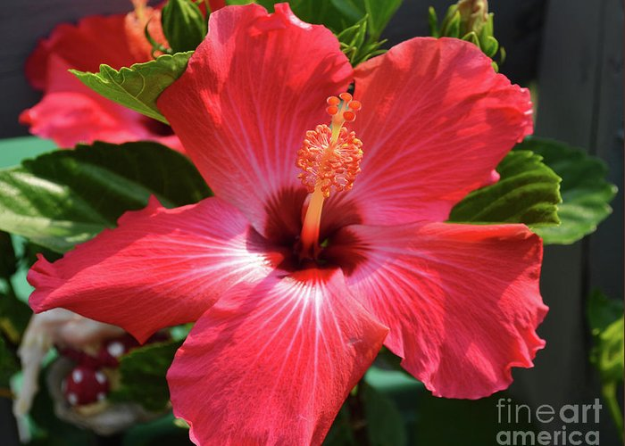 Hibiscus Greeting Card featuring the photograph June Morning Hibiscus by Eva Thomas
