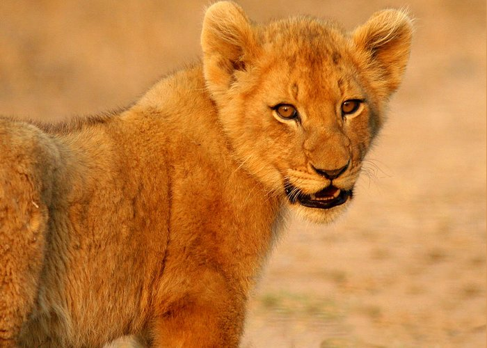 Wildlife-african Lion Cub Greeting Card featuring the photograph Just Checking by John Bradford