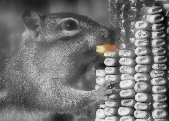 Chipmunk Greeting Card featuring the photograph Just One More Bite by Kenneth Krolikowski