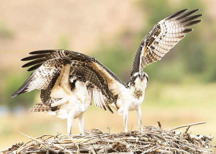 Bird Greeting Card featuring the photograph Juvenile Osprey Testing Their Wings by Dennis Hammer