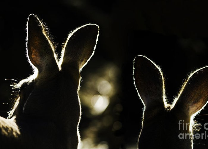 Kangaroo Greeting Card featuring the photograph Kangaroos Backlit by Sheila Smart Fine Art Photography
