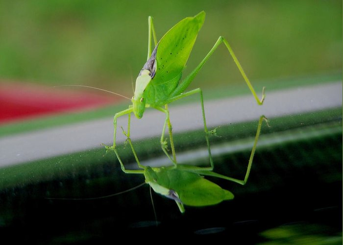 Katydid Greeting Card featuring the photograph Katydid by Karen M Scovill