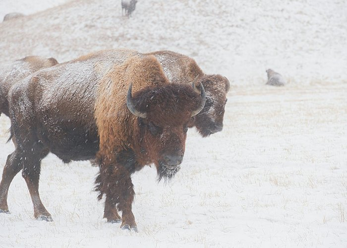 Buffalo Greeting Card featuring the photograph Keep Moving by Derald Gross