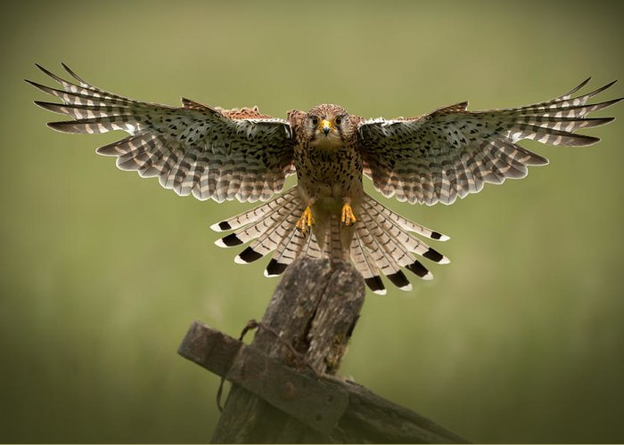 Animal Greeting Card featuring the photograph Kestrel On Final Approach by Andy Astbury