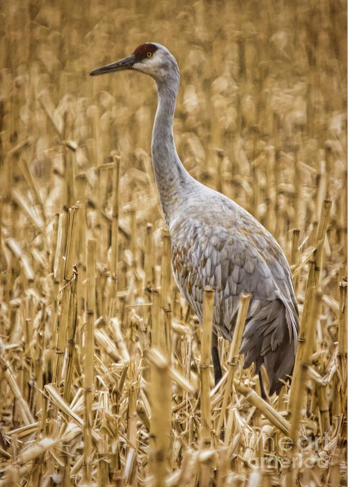 Nature Greeting Card featuring the photograph King Of The Delta Cornfield by Janice Pariza