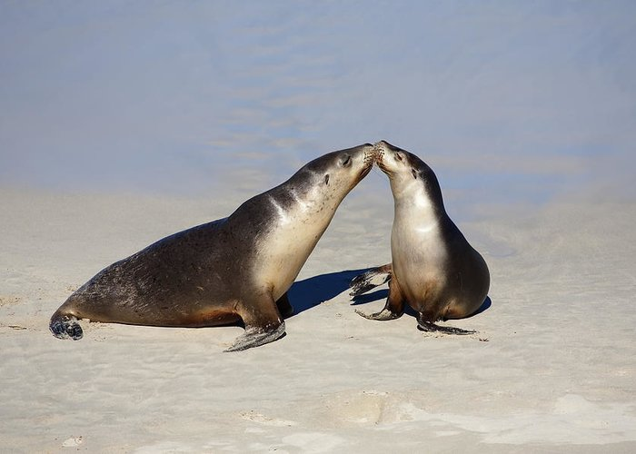 Sea Lion Greeting Card featuring the photograph Kiss by Mike Dawson