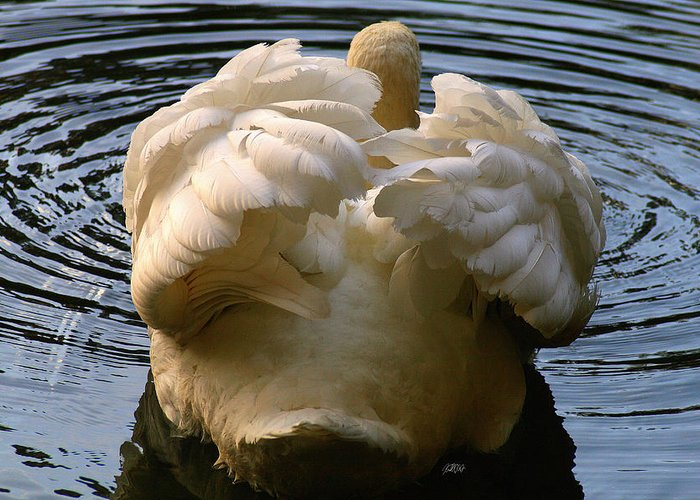 Swan Greeting Card featuring the photograph Kiss My Tail Feathers by Jason Blalock