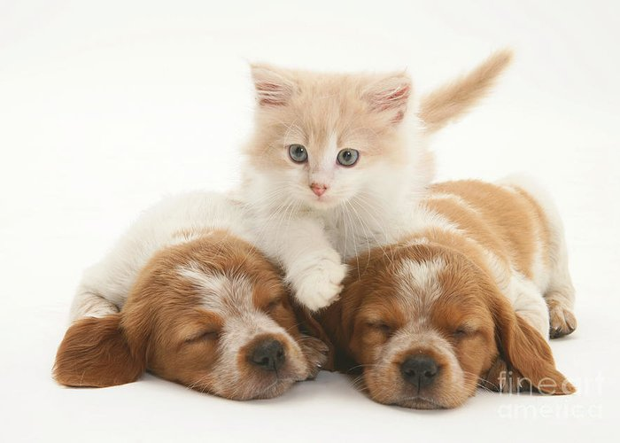 Animal Greeting Card featuring the photograph Kitten And Puppies by Jane Burton