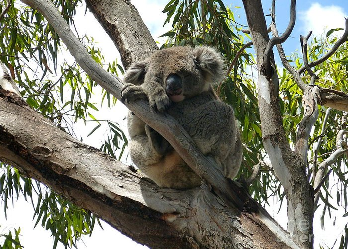 Koala Greeting Card featuring the photograph Koala - Sleeping by Birgit Moldenhauer