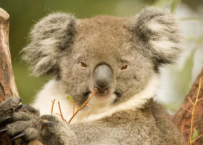 Koala Greeting Card featuring the photograph Koala Snack by Mike Dawson