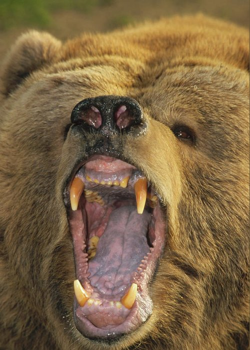 Mp Greeting Card featuring the photograph Kodiak Bear Ursus Arctos Middendorffi by Matthias Breiter