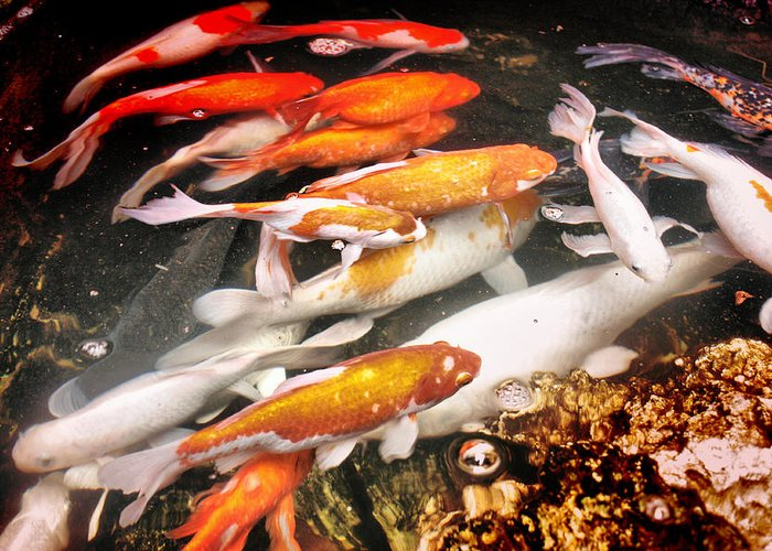 Animal Photography Greeting Card featuring the photograph Koi Fish Pond by Mario Bennet