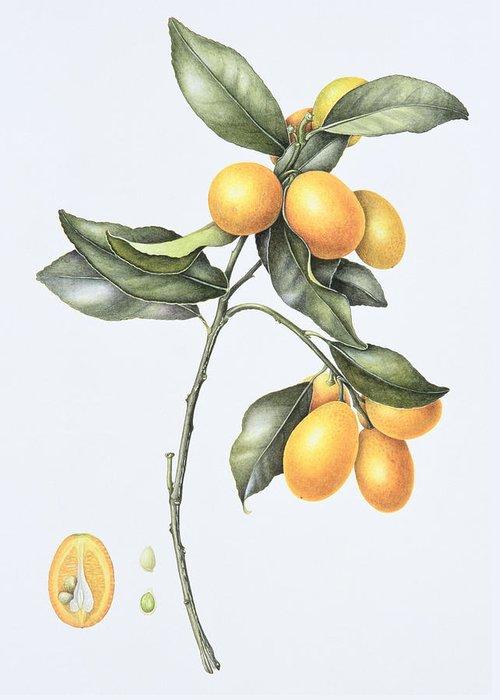 Kumquats; Fruit; Citrus; Branch; Half; Halved; Cross Section; Botanical; Still Life; Seed; Seeds; Kumquat Greeting Card featuring the painting Kumquat by Margaret Ann Eden