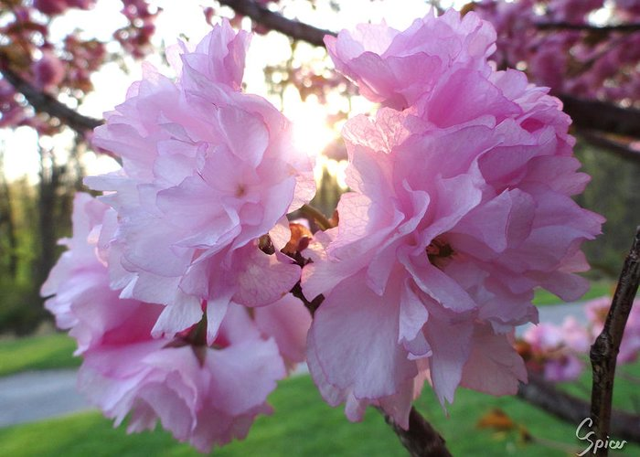 Kwanzan Greeting Card featuring the photograph Kwanzan Cherry Blossom by Christopher Spicer