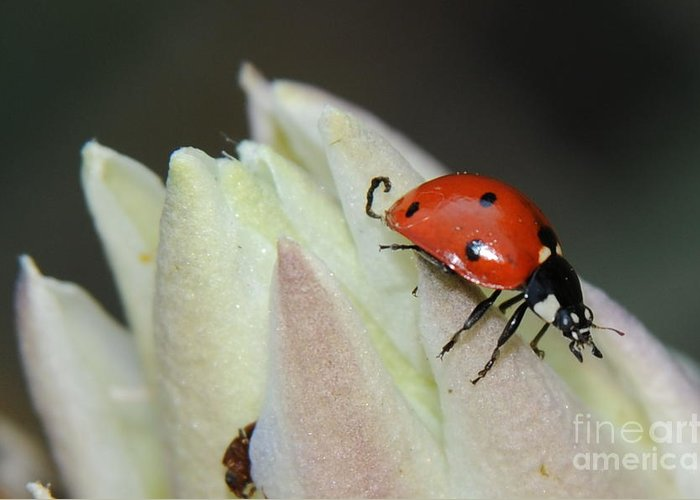 Lady Bug Greeting Card featuring the photograph Lady Bug by Patrick Short