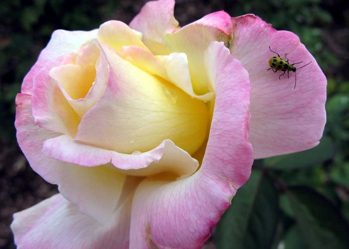 Rose Greeting Card featuring the photograph Ladybug Landing by Carol Sweetwood