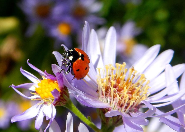 Ladybug Greeting Card featuring the photograph Ladybug Shows Her Heart by Roger Medbery
