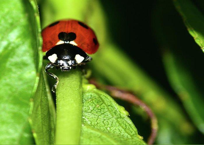 Ladybug Greeting Card featuring the photograph Ladybug by Surjanto Suradji