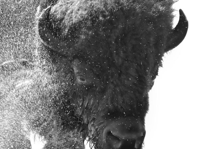 Splash Greeting Card featuring the photograph Lamar Valley Bison Black And White by Dan Sproul