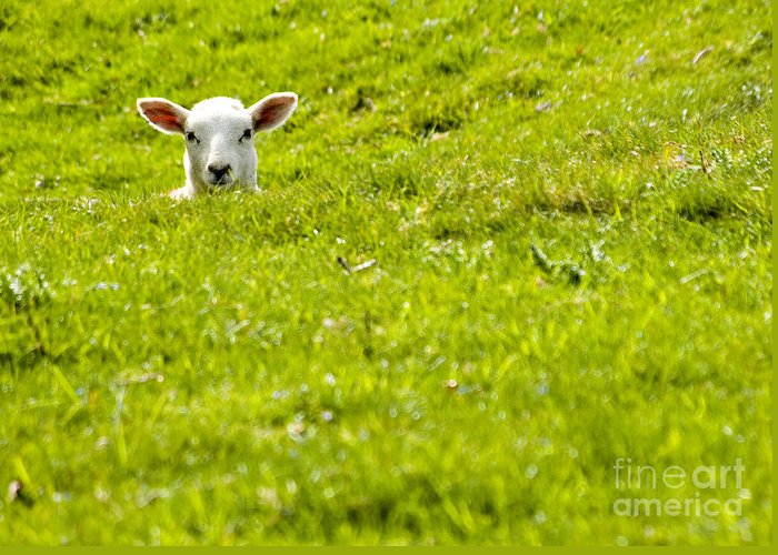 Lamb Greeting Card featuring the photograph Lamb In A Dip by Meirion Matthias