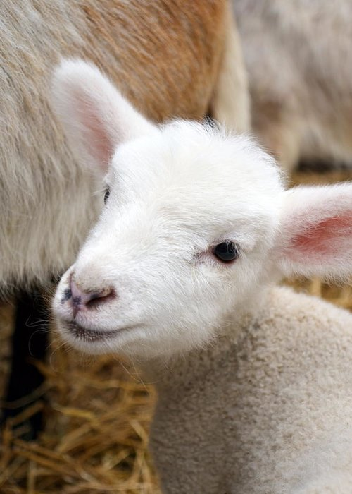 Grass Greeting Card featuring the photograph Lamb by Michelle Calkins