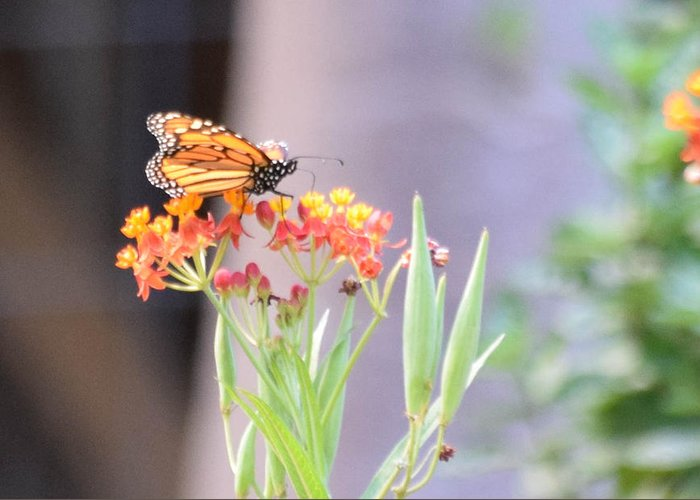 Butterfly Greeting Card featuring the photograph Landing by Austin Bennett