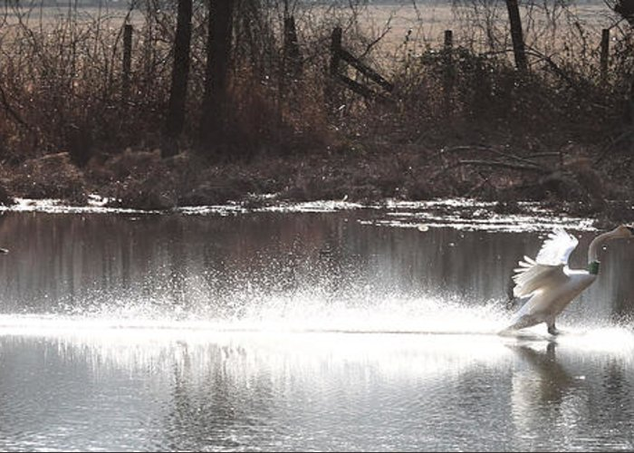 Trumpeter Swans Greeting Card featuring the photograph Landing Trumpeter Swans by Michael Dougherty