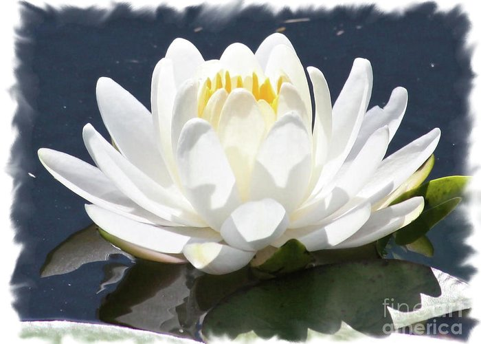 Water Lily Greeting Card featuring the photograph Large Water Lily With White Border by Carol Groenen
