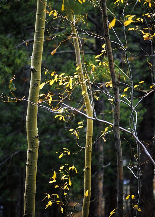 Aspen Greeting Card featuring the photograph Late Aspen by Jerry McElroy
