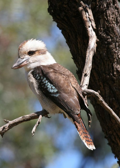 Kookaburra Greeting Card featuring the photograph Laughing Kookaburra A by Tony Brown