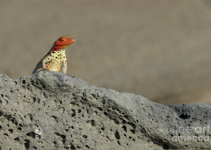 Wildlife Greeting Card featuring the photograph Lava Lizard On Lava Rock by Sami Sarkis
